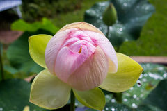 Nuevo loto rosado de la floración Imágenes de archivo libres de regalías