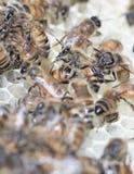 Nuevo panal blanco de la cera de abejas con las abejas de la miel Fotografía de archivo libre de regalías