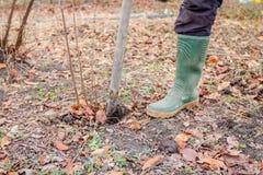 Nuevo vástago de trasplante con las raíces del árbol frutal del padre imágenes de archivo libres de regalías