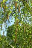Nuevos amentos del abedul en rayos soleados primavera La primavera ha venido Fotografía de archivo libre de regalías