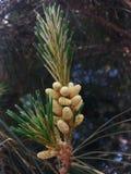 Nuevos conos del pino Fotografía de archivo