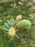 Nuevos conos del pino Imagen de archivo