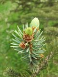 Nuevos conos del pino Imágenes de archivo libres de regalías