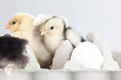 Nuevos pollos de la portilla que se colocan en un group.GN Imagenes de archivo