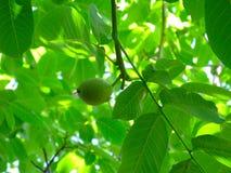 Nuez-árbol Foto de archivo libre de regalías