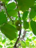 Nuez-árbol Fotos de archivo libres de regalías