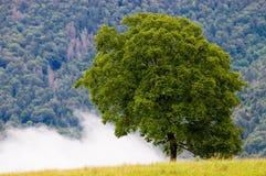 nuez-árbol Fotografía de archivo libre de regalías