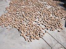 Nuez de areca de sequía por natural Imágenes de archivo libres de regalías