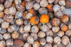 Nuez de areca de los frutos secos o palma de nuez de betel Fotos de archivo libres de regalías