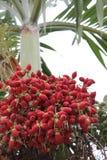 nuez de betel roja Fotografía de archivo libre de regalías