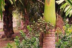 Nuez de betel, variedad enana Imagen de archivo