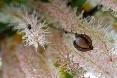 Nuez de macadamia en cáscara contra racemes de la flor Foto de archivo