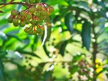 Nuez de Spearflower Fotografía de archivo