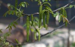 Nuez floreciente en primavera Imagen de archivo libre de regalías
