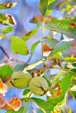 Nuez madura en árbol Fotografía de archivo libre de regalías