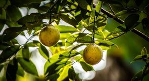 Nuez moscada moscada también se llama como Jathikka imagen de archivo