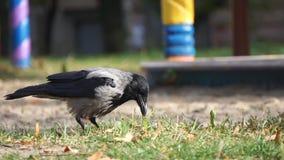 Nuez que se agrieta del cuervo con el pico y la consumición metrajes