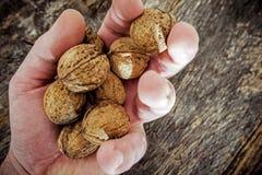 Nuez secada en el granjero Hand Foto de archivo