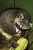 Nuisance Animal. A baby raccoon inside a compost bin in an urban area Royalty Free Stock Images