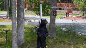 Black Bear Standing to Look at a Bird Feeder. This nuisance bear visits my home in the Poconos, Pennsylvania often while looking for food. He stood to look at a royalty free stock photos