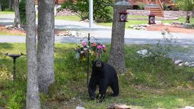 Black Bear Looking at Flowers in My Front Yard. This nuisance bear visits my home in the Poconos, Pennsylvania often while looking for food. He was looking up at stock photos