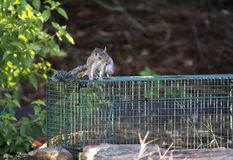 Nuisance Gray Squirrel caught in humane trap. A Eastern Grey Squirrel Sciurus carolinensis trapped inside animal control box trap, Georgia, USA. Inhabit stock photo