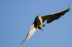 Nuit-héron Noir-couronné établissant le contact visuel direct tout en volant dans un ciel bleu Photographie stock