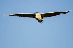 Nuit-héron Noir-couronné établissant le contact visuel direct tout en volant dans un ciel bleu Image stock