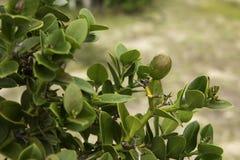 Num Num rośliny Carissa Macrocarpa zdjęcie stock