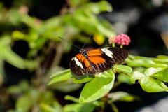 numata бабочки longwing Стоковые Фотографии RF