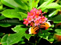 Numata longwing butterfly Royalty Free Stock Photography