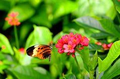 Numata longwing butterfly feeding Stock Photo