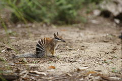 Numbat imagem de stock royalty free