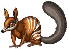 Numbat Stock Photo