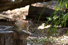 Numbat standing on a dead tree stock photo