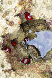 A number of the beadlet anemone or Actinia equina. The beadlet anemone, Actinia equina, is a common sea anemone found on rocky shores around all coasts of the Stock Images
