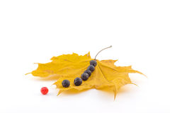 A number of black and red berries of a mountain ash on a maple a Stock Photo