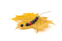 A number of black and red berries of a mountain ash on a maple Stock Photos