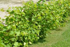 Number of bushes of grapes Vitis L.  Royalty Free Stock Photography