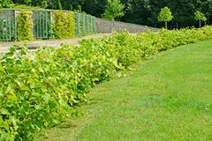 Number of bushes of grapes Vitis L. on a grape terrace of the  park of San Sushi. Potsdam, Germany. Number of bushes of grapes Vitis L. on a grape terrace of the Stock Photo