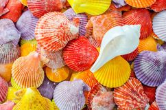 A number of Colorful Scallop seashell and white seashell background Royalty Free Stock Photos