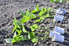 A number of cups with pepper seedlings lie horizontally on the ground for planting seedlings in the open ground. Agriculture royalty free stock photo
