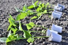 A number of cups with pepper seedlings lie horizontally on the ground for planting seedlings in the open ground. Agriculture royalty free stock image
