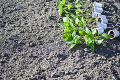A number of cups with pepper seedlings lie horizontally on the ground for planting seedlings in the open ground. Agriculture stock photos