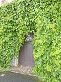 Number 74. The front door of house number 74. Obscured by overgrown Ivy Royalty Free Stock Images