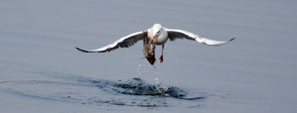 Number of Migratory birds sea gull rises. As day temperature down in winter in Bhopal stock image