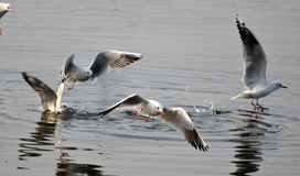 Number of Migratory birds sea gull rises. As day temperature down in winter in Bhopal royalty free stock photography