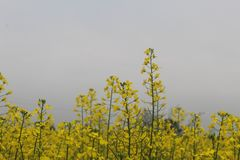 A number of mustard leaves and plants in daylight stock photo