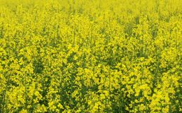 A number of mustard plants in farm stock photos
