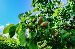 Young pear fruit seen on a commercial orchard showing the young fruit in early summer. A number of pear and apple trees are within this orchard which helps to Stock Images